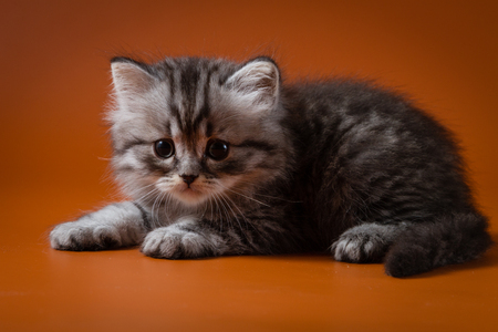 Portrait of Scottish straight long-haired silver-haired gray kitten lying against a orange background