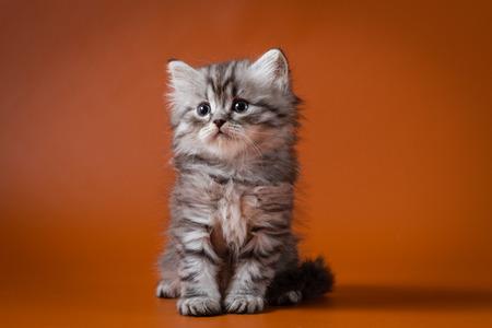 Portrait of Scottish straight longhair kitten sitting against a orange background Stock Photo