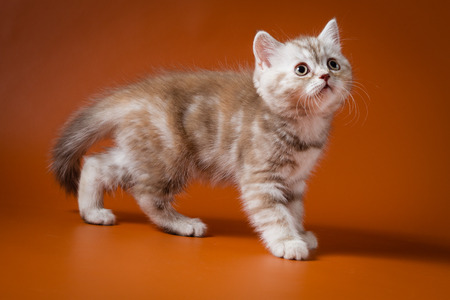Portrait of Scottish kitten standing against a white background.