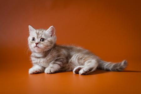 Portrait of Scottish Straight kitten lying on a orange background Stock Photo