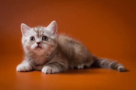 Portrait of Scottish kitten lying against aorange background, one month old.