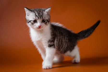 Cute Scottish Straight kitten bi-color, spotted, staying four legs against orange background