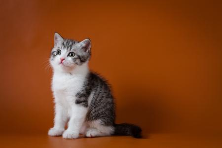 Cute scottish kitten sitting on the floor