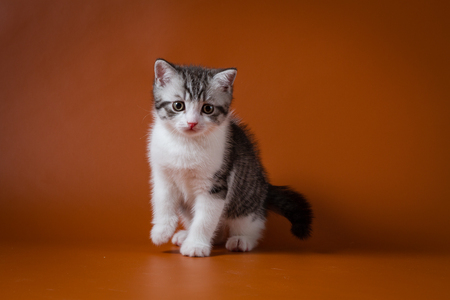 Cute scottish stright kitten, sitting against orange background