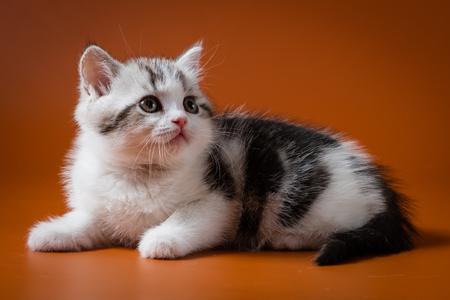 Cute Scottish Straight kitten bi-color, spotted, lying on orange background