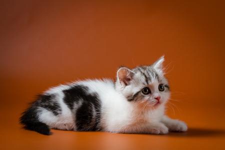Scottish straight kitten bi-color, spotted, lying on orange background