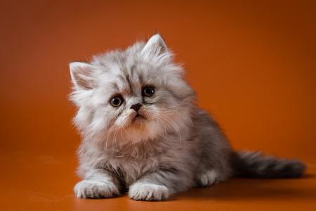 Scottish straight longhair kitten lying against a orange background