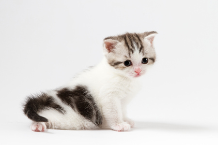 Portrait of cute scottish straight kitten bi-color spotted sitting against a white background