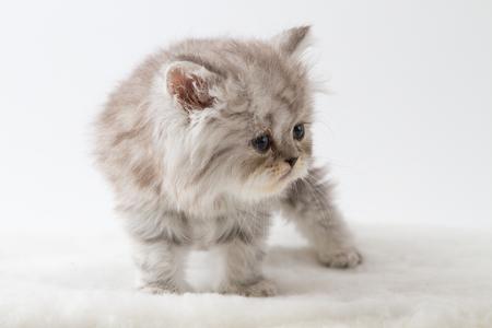 Scottish straight longhair kitten, staying four legs against white background