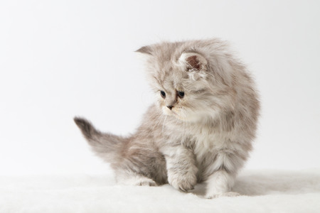 Scottish straight longhair kitten, sitting against white background
