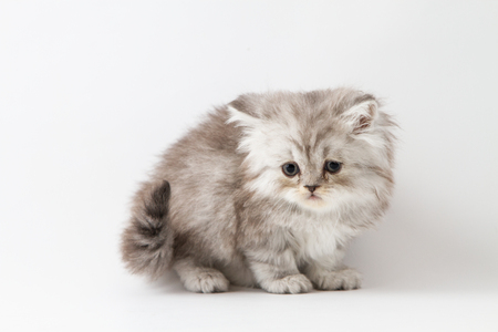 Scottish straight longhair kitten, staying four legs on a white background