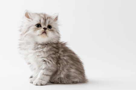 Scottish straight longhair kitten, sitting on a white background