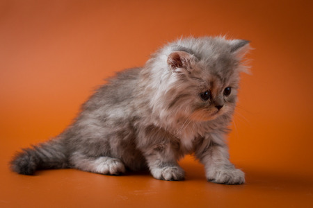 Portrait of blue silver spotted tabby Scottish straight longhair kitten sitting on orange background