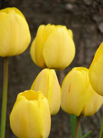Tulipes jaunes Banque d'images - 438979