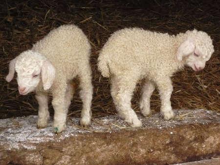 angora kid goats, just a few days old, on a farm, Exmoor, South West England