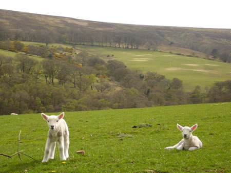 spring lambs on Exmoor, South West England
