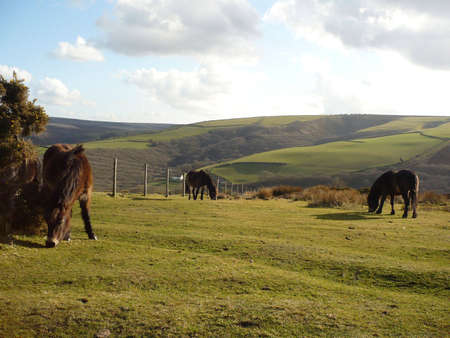 exmoor: Exmoor ponies grazing on Porlock Common, Exmoor, South West England