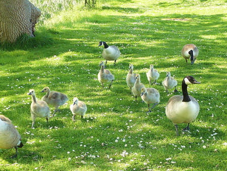 Nine Canada geese goslings and adults on the move at Dunster, South West England Stock Photo