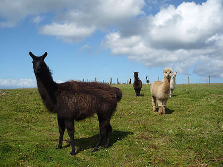 farmlife: Alpacas on Exmoor, South West England Stock Photo