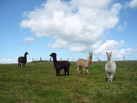 Alpacas, Exmoor, South West England