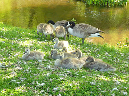 Canada geese and 10 goslings, Dunster Beach, South West England