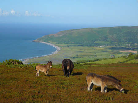 Porlock Bay with Exmoor ponies grazing on the hill, Exmoor, South West England photo
