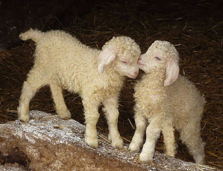 Angora kid goats, just a few days old, Exmoor, South West England