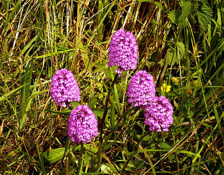 Wild orchids, Somerset levels, South West England