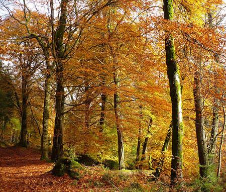forrest: Herfst bomen, Exmoor, Zuid-West-Engeland