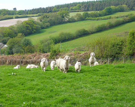 exmoor: Angora goats a few months old with their mothers, Exmoor, South West England Stock Photo