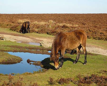 Exmoor ponies, Exmoor, South West England Stock Photo