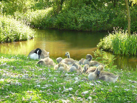 Canada goose and family of goslings, Dunster, South West England photo