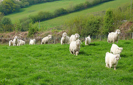 Angora goats, Exmoor, South West England photo
