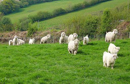 mohair: Angora goats, Exmoor, South West England