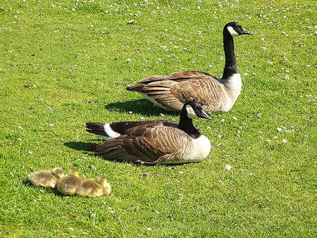 Proud parents and 3 Canada geese goslings, Dunster, South West England