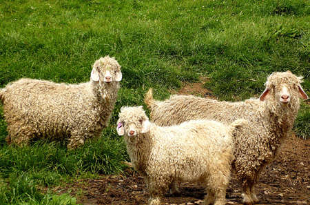 farmlife: Angora goats with their young one on an Exmoor farm, South West England Stock Photo