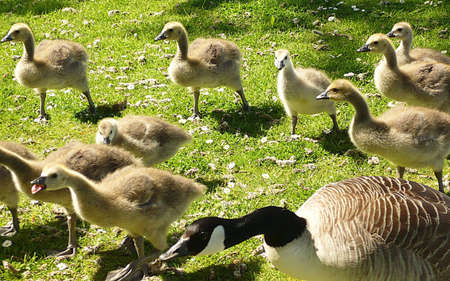 Canada goose and goslings on the move, Dunster, South West England