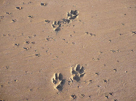 Paw tracks in the sand, Minehead beach, South West England Stock Photo