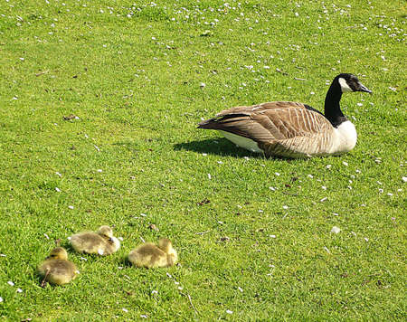 Parent and 3 Canada geese goslings, South West England Stock Photo