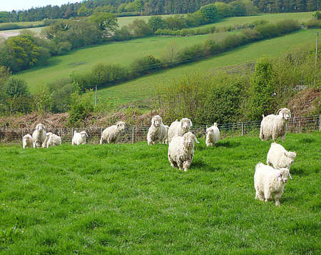 Angora goats, a few months old, with their mothers on a farm, South West England photo