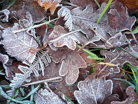 Frost on leaves, South West England