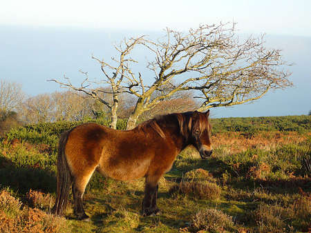 A frosty morning with a blanket of misty clouds and a hardy, wild, Exmoor pony Stock Photo