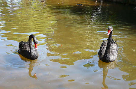 contented: contented wild black swans on a Devon stream, South West England  Stock Photo