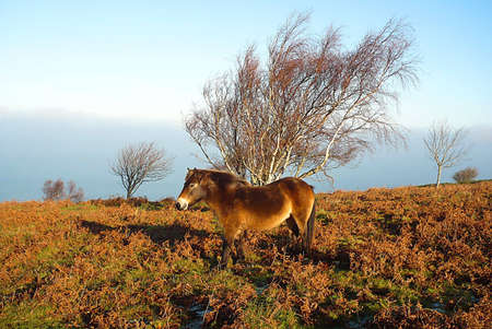 A frosty morning with a blanket of misty clouds and a hardy, wild, Exmoor pony, South West England Stock Photo