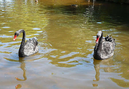 Contented wild black swans on a Devon stream, South West England