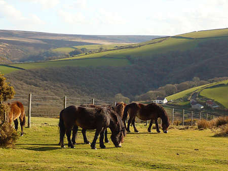 Wild, hardy, Exmoor ponies grazing freely on Exmoor, South West England