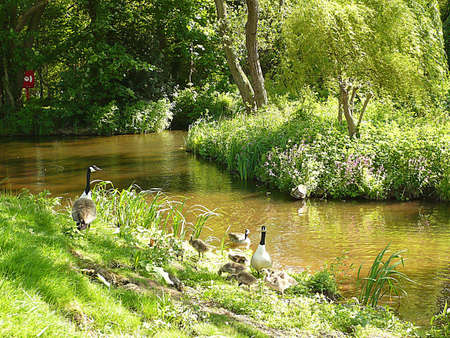 Canada geese family and lots of goslings, South West England Stock Photo - 9937400