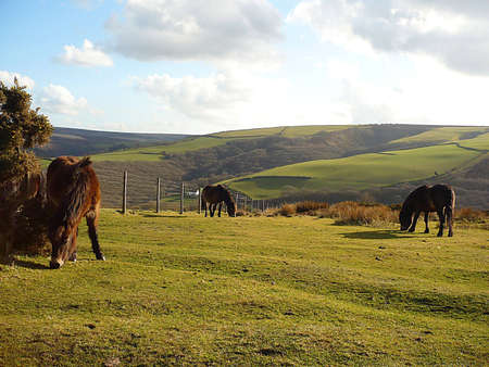 Wild, hardy, Exmoor ponies grazing freely on Exmoor, South West England Stock Photo - 4068341