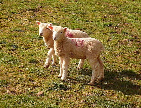 Two spring lambs on a farm, South West England Stock Photo - 9937402