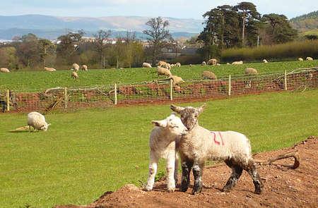 southwest: aanhankelijk voorjaar lammeren, Exmoor, Zuid-West-Engeland Stockfoto